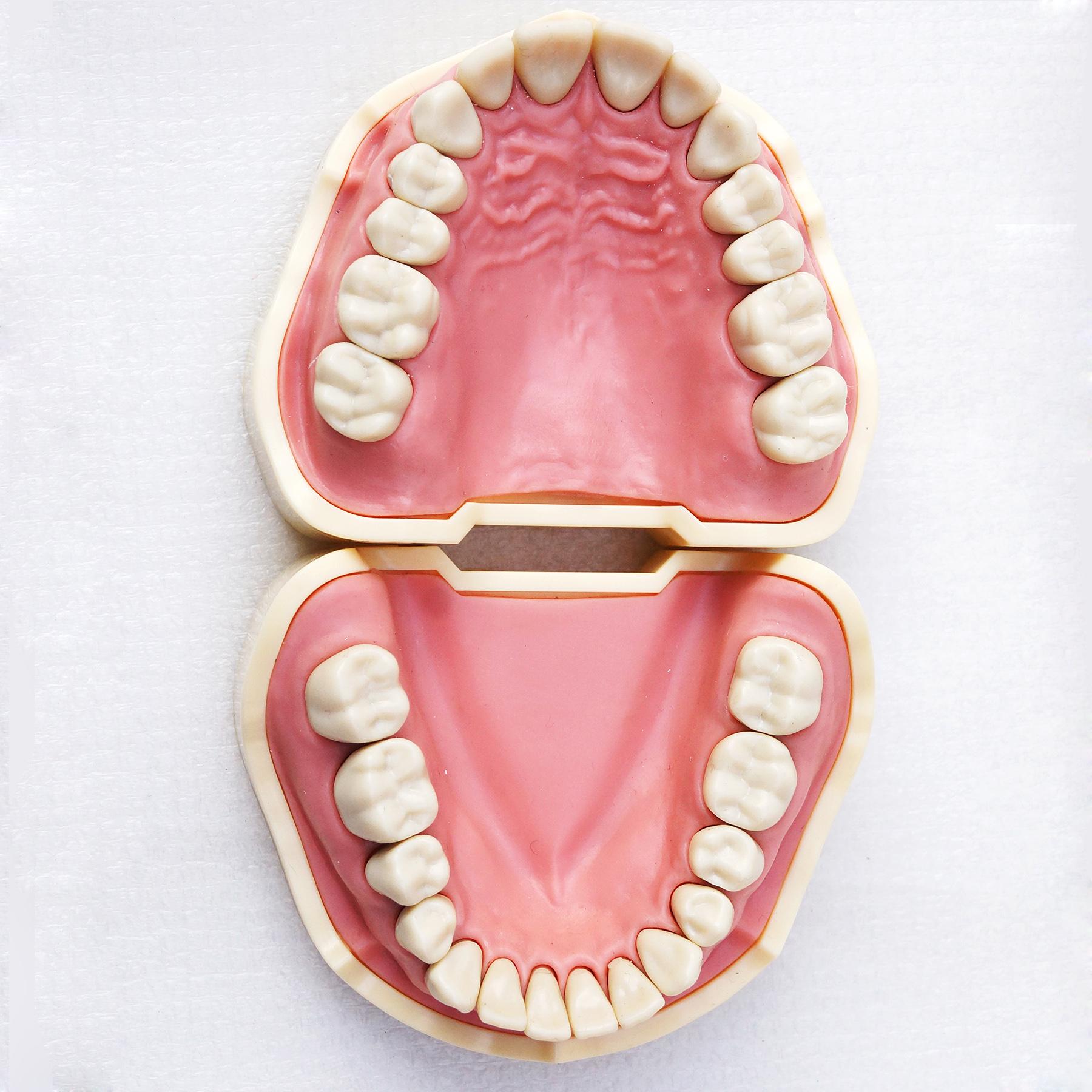 TM-A5-01 Standard Model, Dental Teeth Model Study And Teach Soft Gum BF Style 28pcs