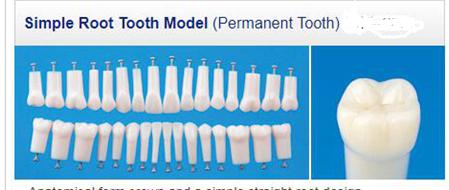 Dental training teeth Permanent teeth For SF Study Model