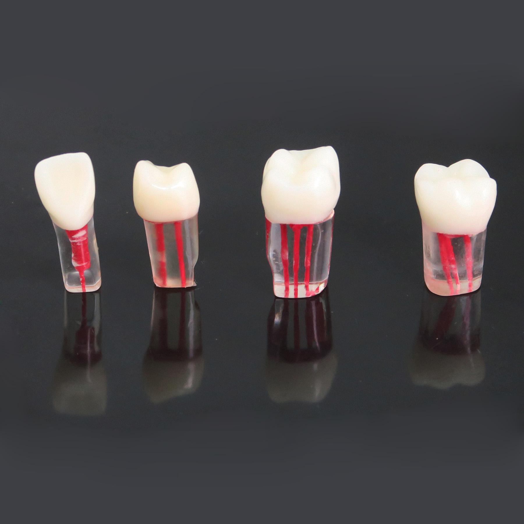 TM-N6 Dental Teeth Model Endo canal dental practice teeth Model Dentist Teach Study